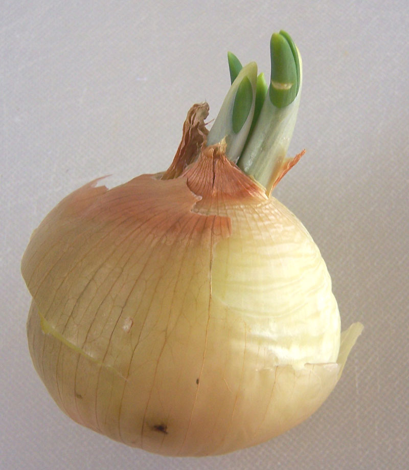 how to grow onions from sprouting onions