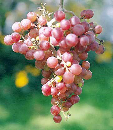 Small Table Grapes 5